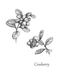 Hand Drawn  Twigs of Cowberry