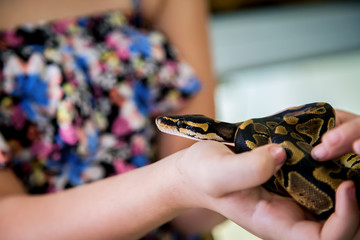 Ball Python Behing Held By A Little Girl
