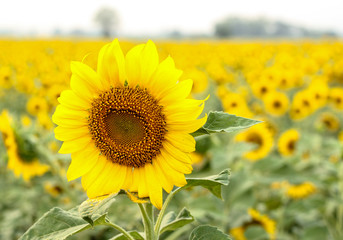 Sunflower flower of summer
