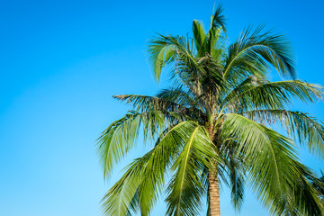 Coconut tree on blue sky background