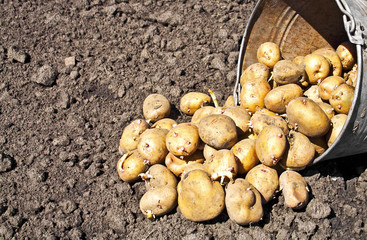 Soil and bucket of potatoes. Harvest time, planting potatoes. Se