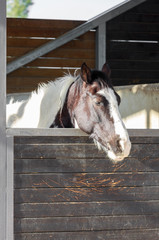 Sleeping spotted horses portrait