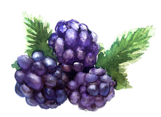 watercolor blackberry on a white background