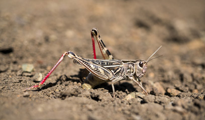 A locust is ovipositing eggs into the soil.