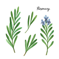 Watercolor branches and leaves of rosemary.