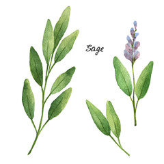 Watercolor branches and leaves of sage.