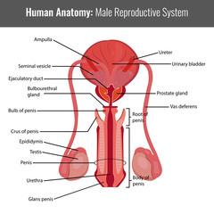 Male reproductive system detailed anatomy. Vector Medical