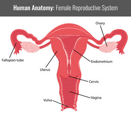 Female reproductive system detailed anatomy. Vector Medical