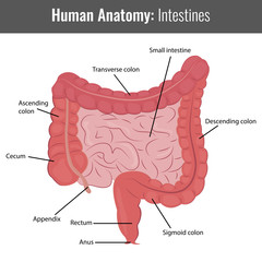 Human Intestines detailed anatomy. Vector Medical