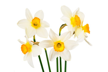 Poster Narcisse Beautiful Spring Flowers Narcissus on White Background