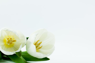 Close up white tulip on white background with copy space