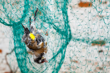 Jilguero Común muerto enredado en la red. Carduelis carduelis.