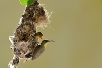 Sun-bird flying feeding new born chicks