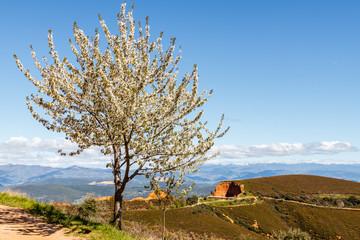 Cerezo en flor y Mirador de Orellán. Las Médulas. Explotación minera de oro romana. El Bierzo, León, España.