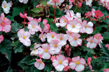 A mass of pink Begonia flowers at Butchart Gardens