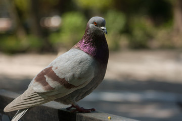 Beautiful pigeon dove