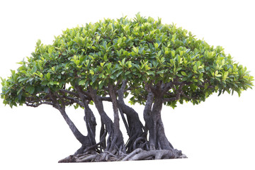 Bonsai Tree with multiple trunks Isolated on White
