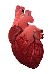 Anatomically realistic human heart isolated on white background. Vector illustration