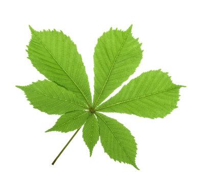 Horse-chestnut (Aesculus hippocastanum, Conker tree) leaf isolat