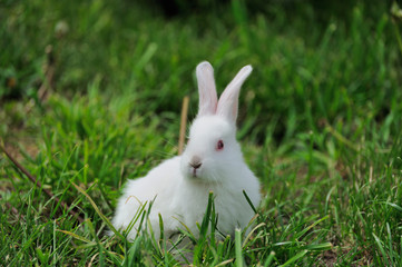 White rabbit sitting in grass