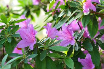 azalea, pink Azalea flower blossom