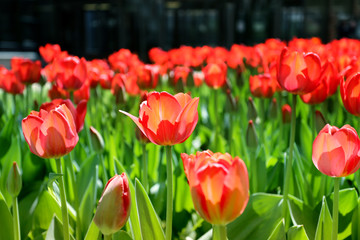 Photos red tulips