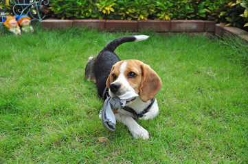 Beagle puppy bite socks on the outdoor lawn.