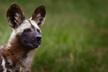 Wall Mural - Highly alerted African wild dog. Lycaon pitucs