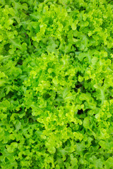 fresh and tasty salad,green salad as background.