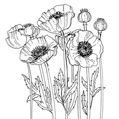 Poppies line drawn on a white background. Flower composition. Summer flowers.