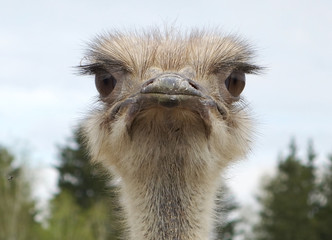 Close-up portrait of a single ostrich Struthio camelus