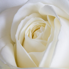 Fototapete - White Rose