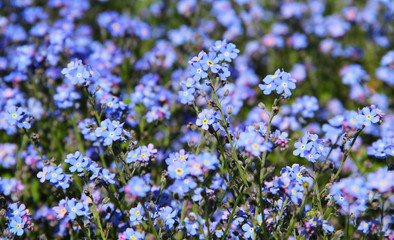 close photo of many blue forget-me-not flowers in spring