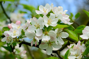 Obraz Kwiat jabłoni w Arboretum w Bolestraszycach - fototapety do salonu