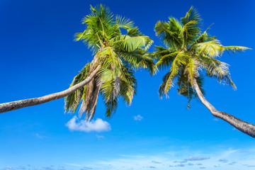 cocotiers penchés aux Seychelles