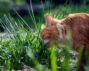 The cat is eating green grass. Big cat, fluffy, red.