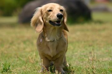 芝生にたたずむ犬