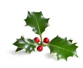 Christmas holly. Holly, isolated on white background. Design element or christmas decoration.