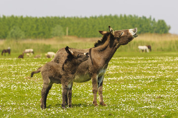 Mother and baby donkeys  bray