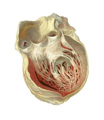 Heart anatomy, artwork