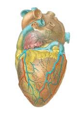 Heart anatomy, artwork