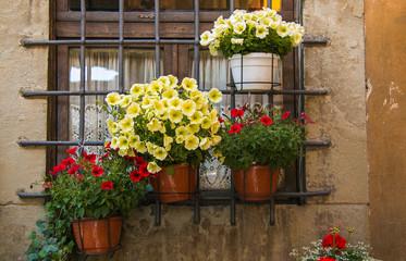 Petunia flowers bloom in the window