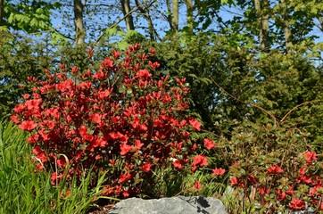 Azalea rot blühend im Garten