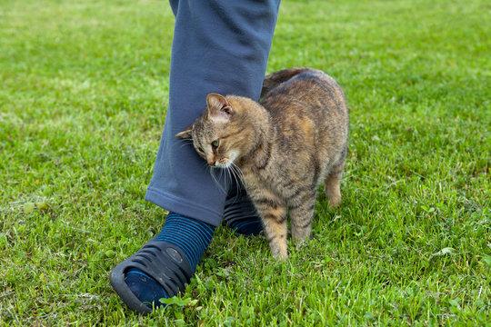 Gray cat rubbing against female leg