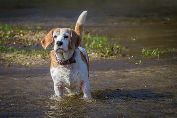 happy old dog playing in river on sunny day