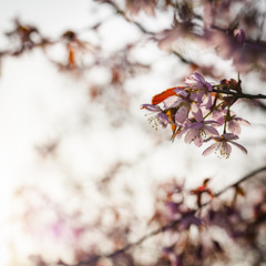 Close up image of pink cherry tree blossom in Helsinki