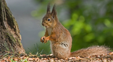 Eating squirrel in the forest. Eurasian red squirrel (Sciurus vulgaris).