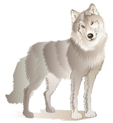 Illustration of standing gray wolf, vector cartoon image.