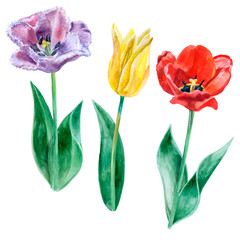 Watercolor sketch of purple, yellow and red tulips