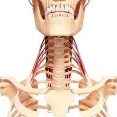 Human neck musculature, artwork